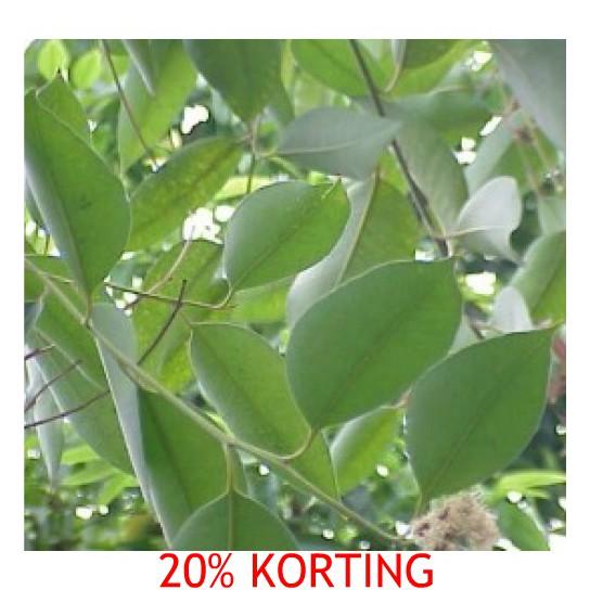 Essentiële Eucalyptus olie, 1 liter