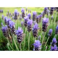 Essentiële Lavendel olie